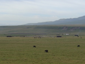amdo-grasslands