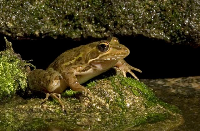 Two frogs a thousand years apart early tibet for Upullandpay
